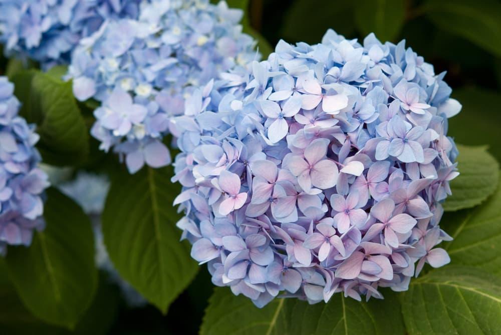 blue Hydrangea macrophylla 'Endless Summer'