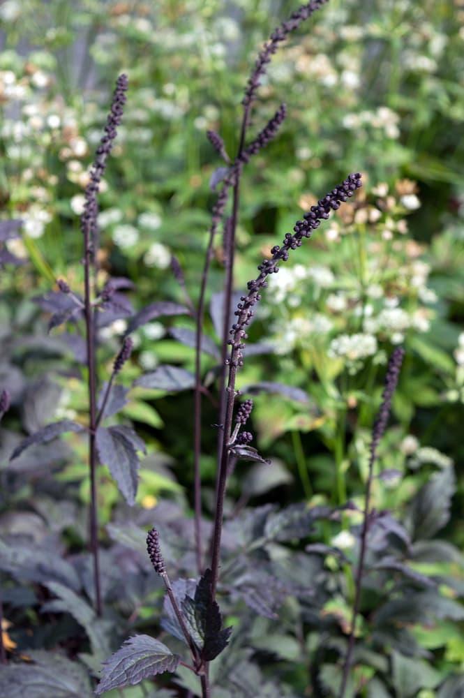 Actaea simplex 'Brunette' growing in a park
