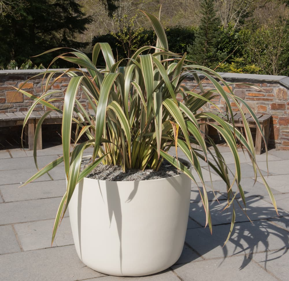 phormium in a large white plant pot with benches in the background