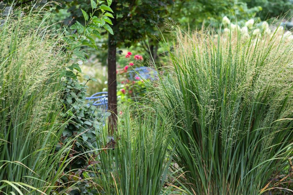 ornamental grasses in a garden