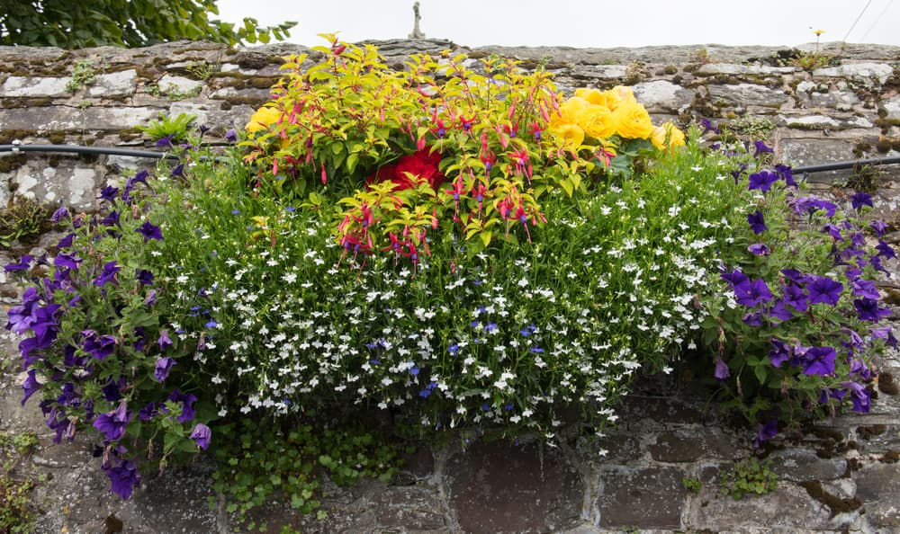 colourful hanging basket flowers including roses and geraniums hanging on a stone wall