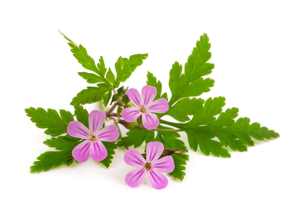 three Herb Robert flowers on a white background
