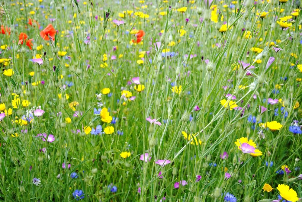 wildflower meadow with cornflower, corn marigold, corn poppy and common corn-cockle