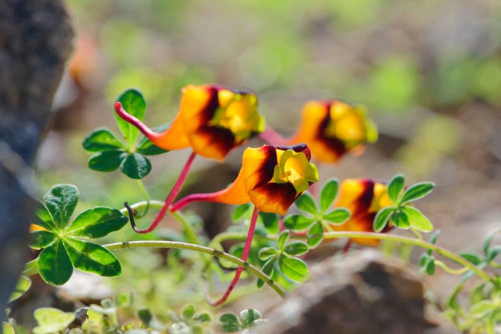 Three-Coloured Nasturtium plant