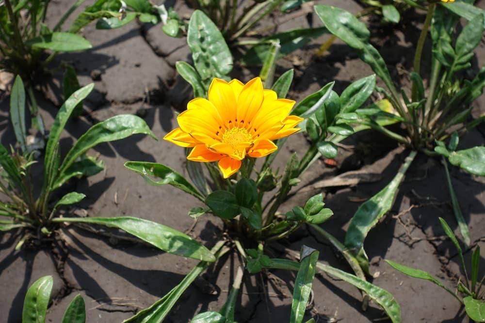 a single Gazania rigens flower