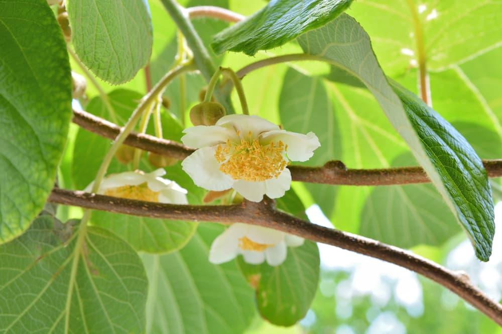 white flowers of kiwi plant