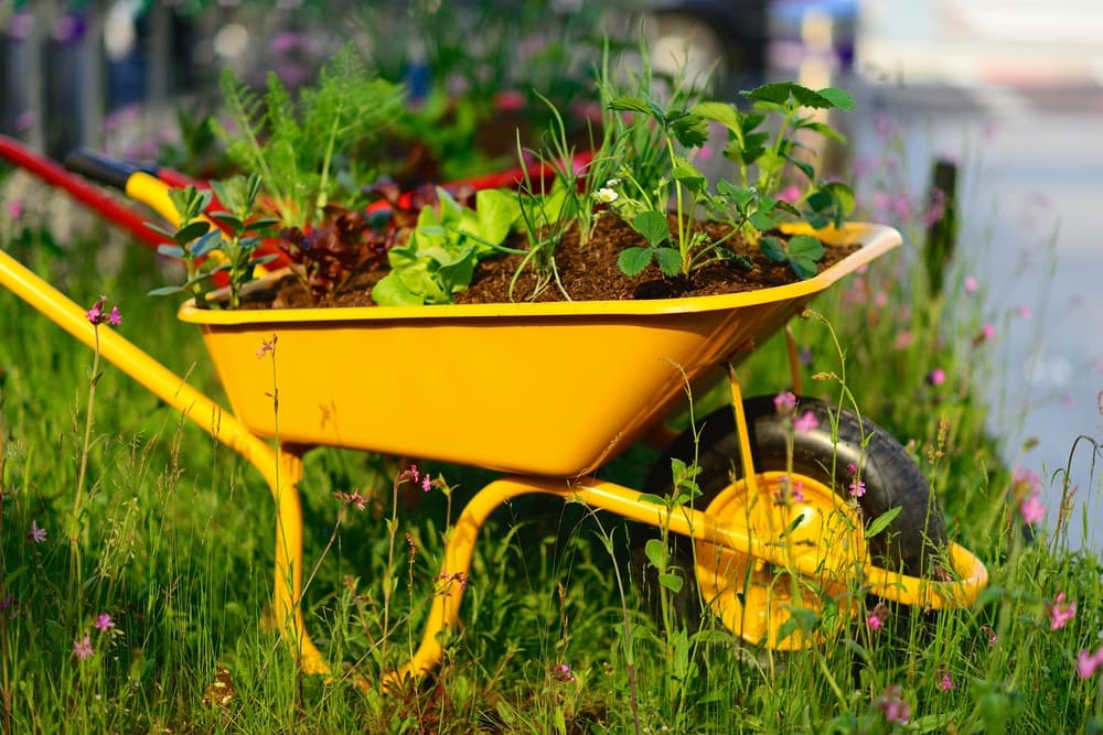 yellow wheelbarrow outdoors with plants growing from it