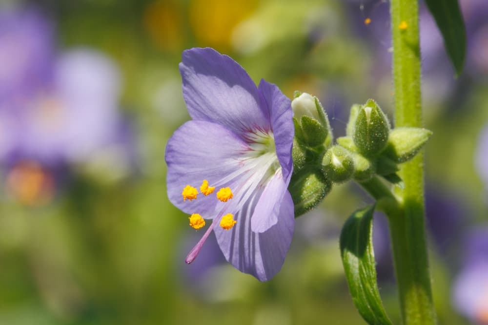 a single purple Polemonium flower up close