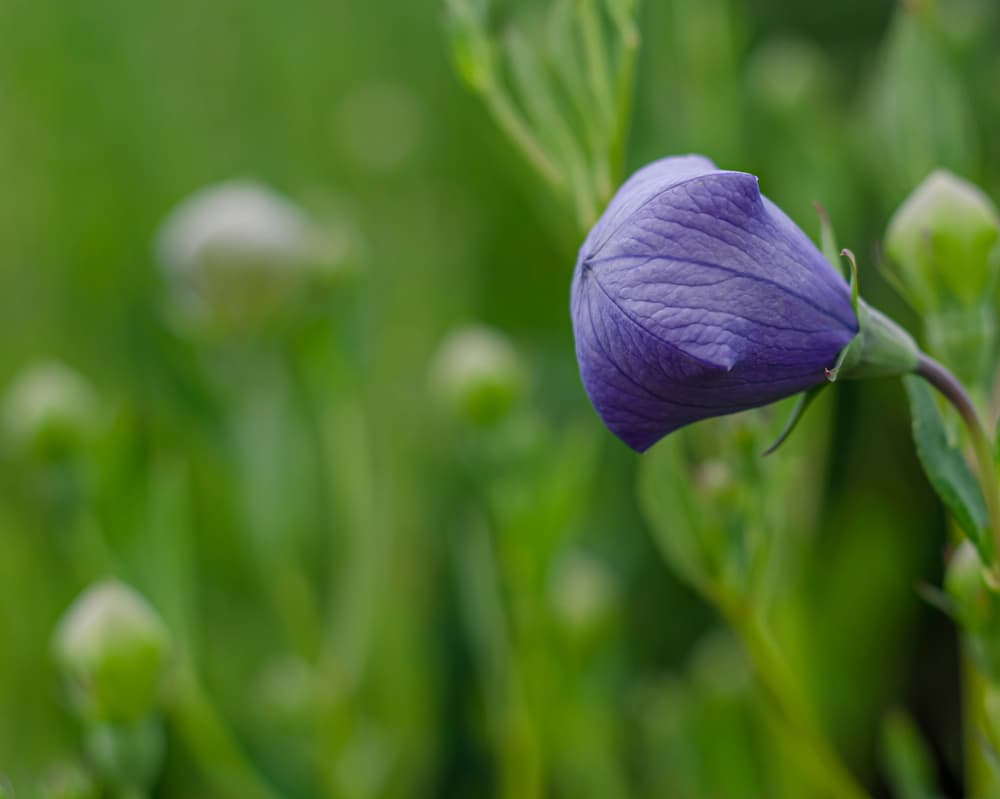 a closeup of the purple bud of a bellflower