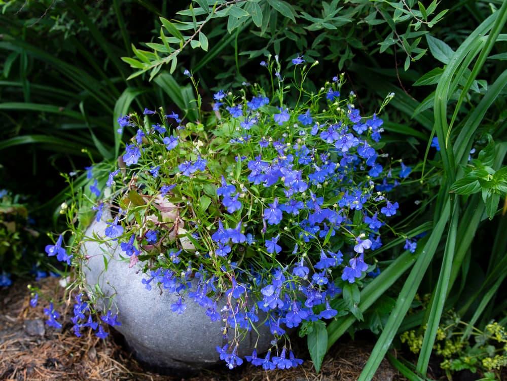 lobelia growing out of a stone plant pot