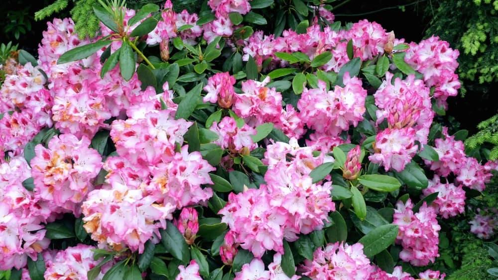 pink blooms of Rhododendron ponticum