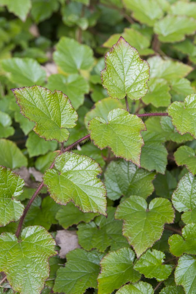 green rubus leaves up close