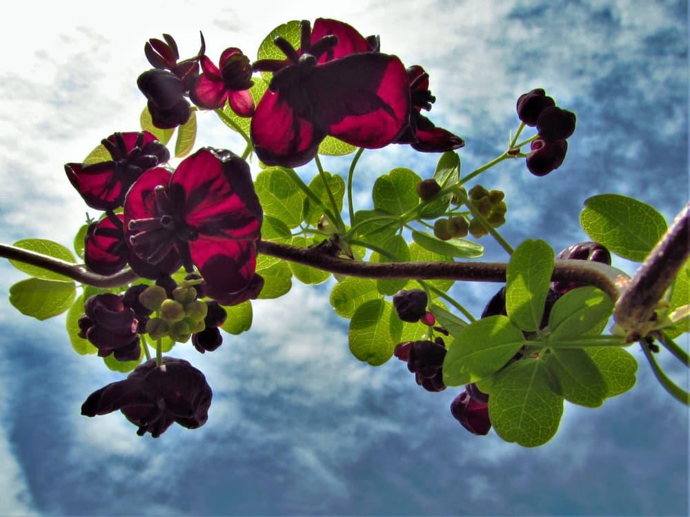 blooms of chocolate vine plant