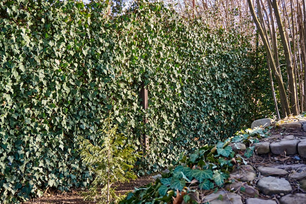 ivy decorating a garden fence