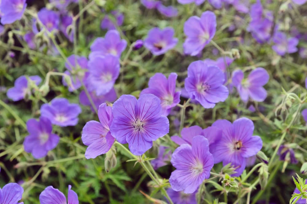 light purple G. 'Orion' flowers