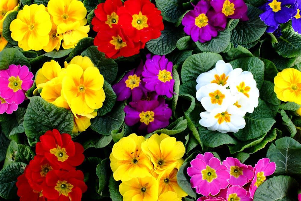 Danova Series Primroses in yellow, red, pink, purple, white and blue