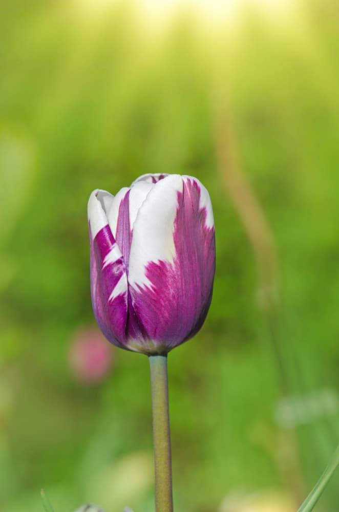 singular Tulip 'Insulinde,' Rembrandt Division in focus