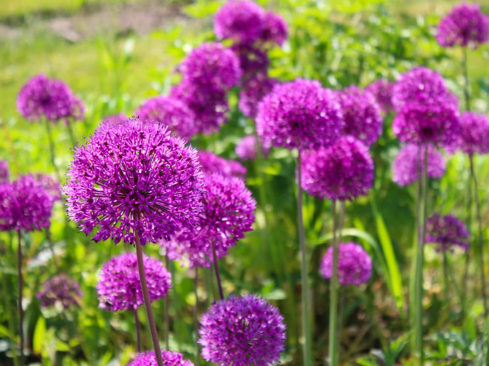 Allium 'Ambassador' Inflorescence
