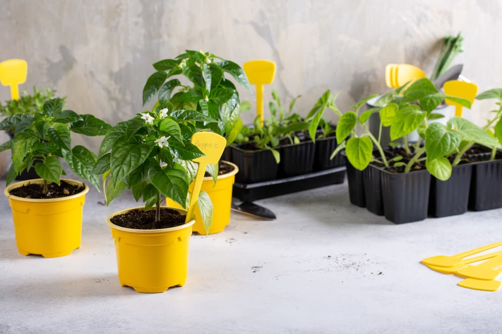 young chilli plants in plastic pots