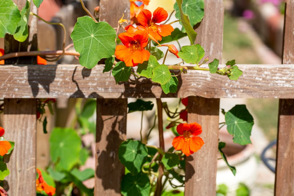 orange Nasturtium trumpet flowers on a wooden trellis