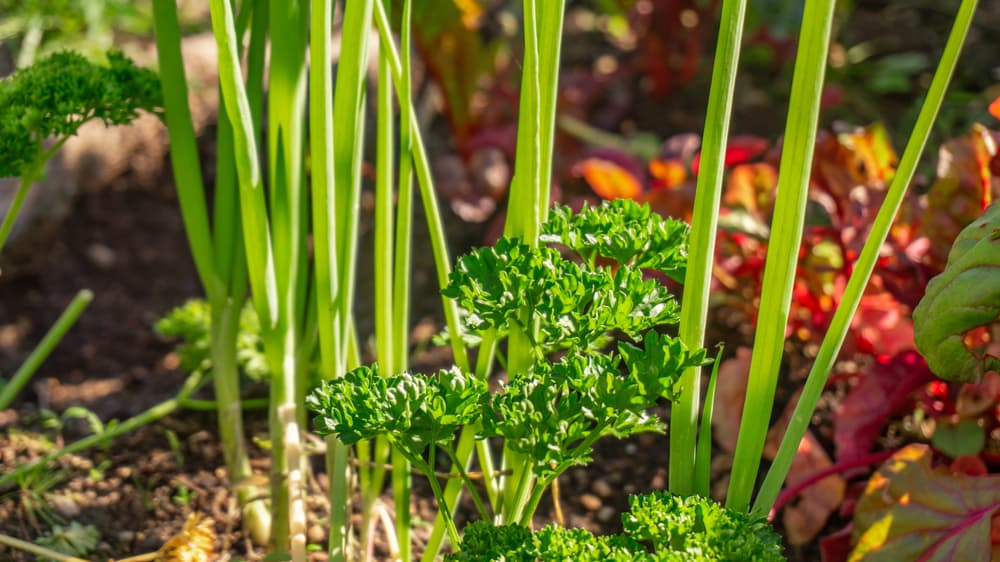 spring onions and parsley planted together