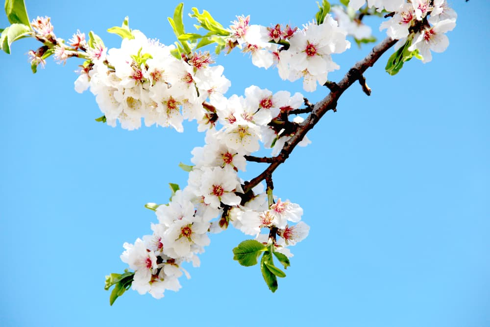cluster of almond blossoms on a blue background