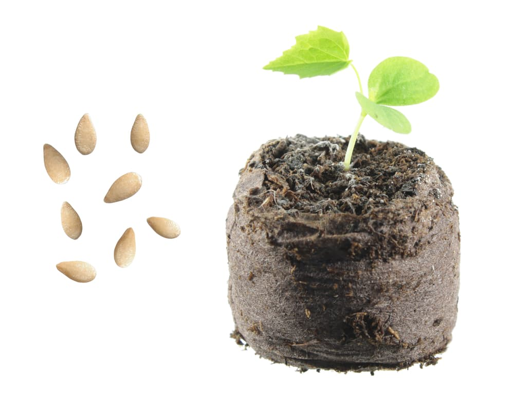 seeds and seedling of Melothria scabra plant on a white background