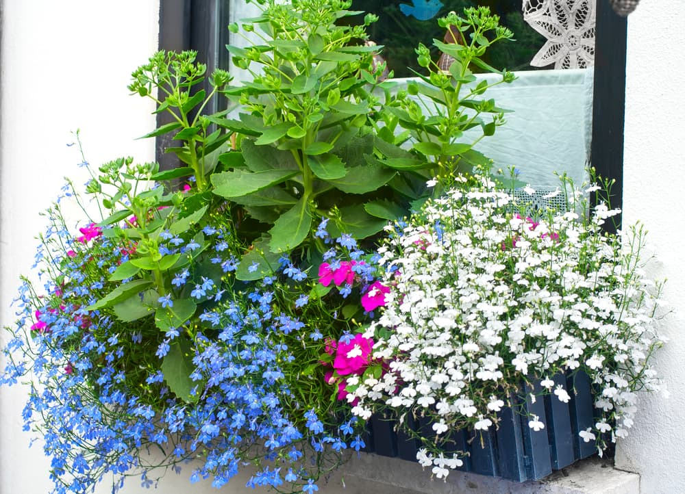 blue edging lobelia and butterfly stone crop plants in hanging window planters