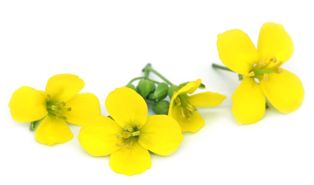yellow rucola flowers on white background