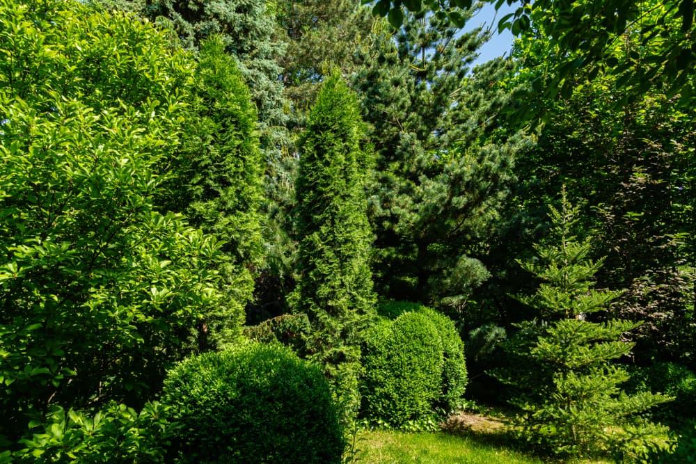 evergreen trees including thuja western, Korean spruce and Japanese pine Glaka