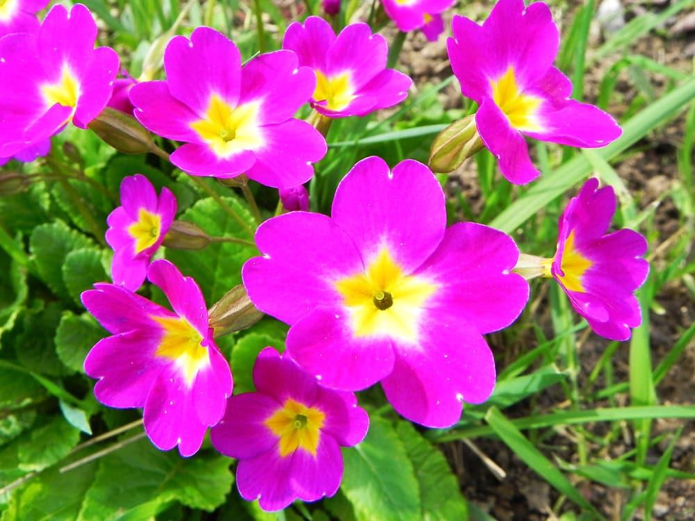 P. 'Perle Von Bottrop' flowers in deep pink