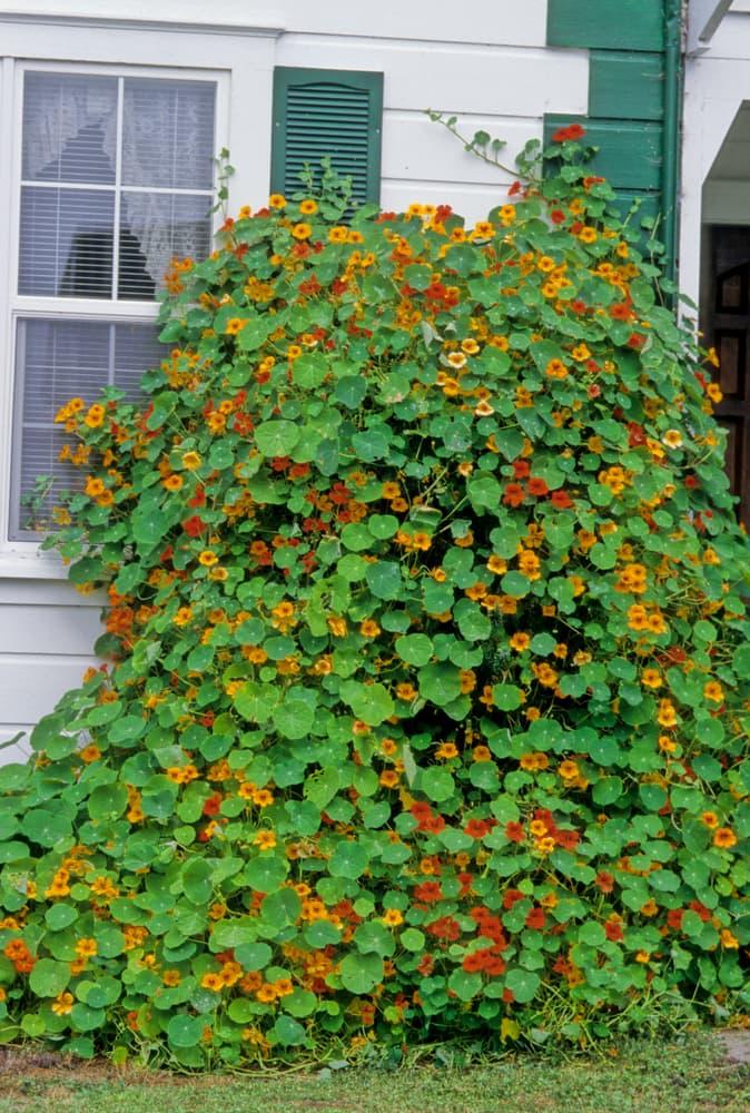 orange Nasturtium climbing on the outside of a house