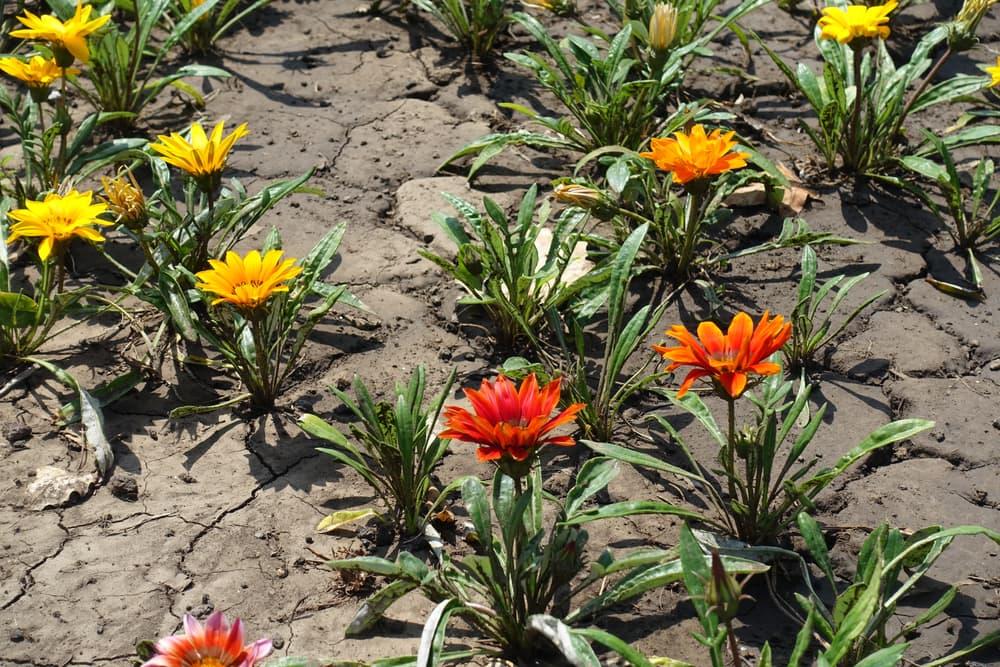 Red, orange and yellow gazania rigens