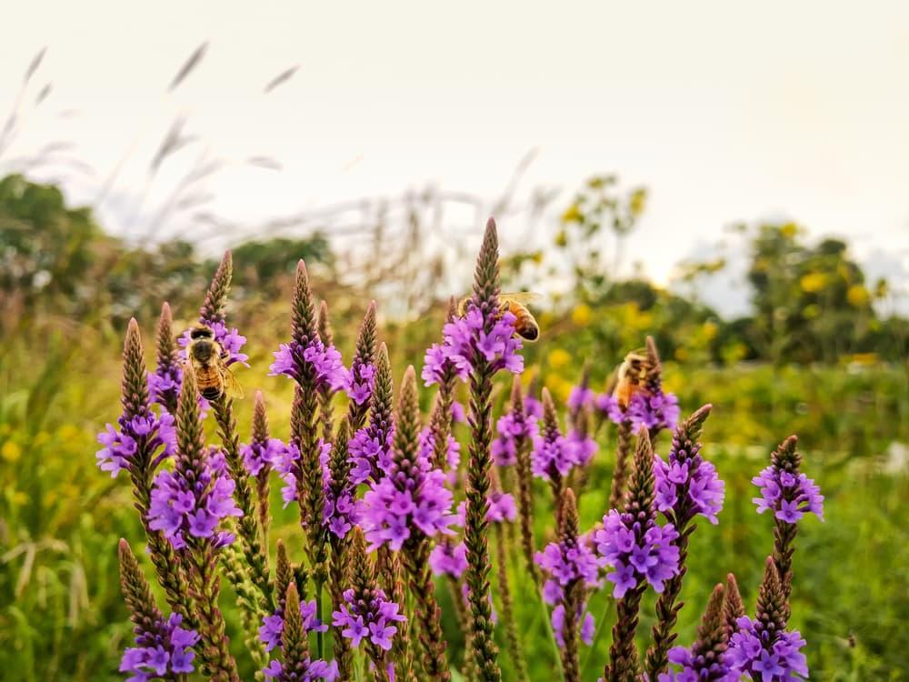 multiple bumblebees pollinate purple vervain herbs