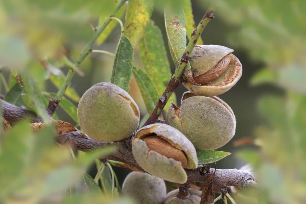 ripe almonds on Prunus dulcis tree