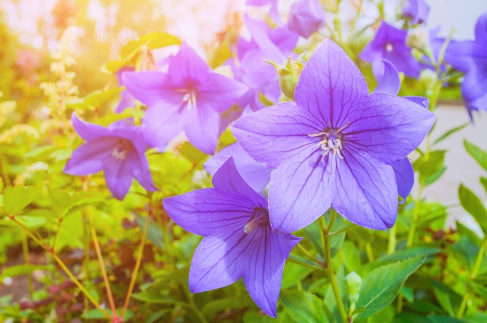 meadow bellflowers in bright sunlight