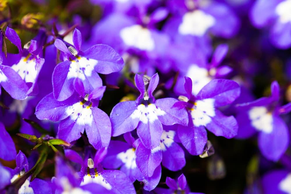 purple and white lobelia flowers
