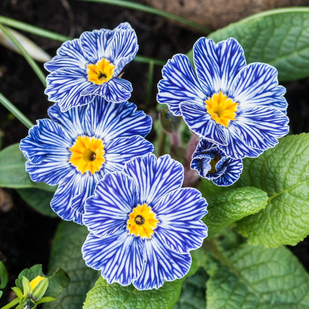 zebra blue primula flowers with blue, white and yellow colours