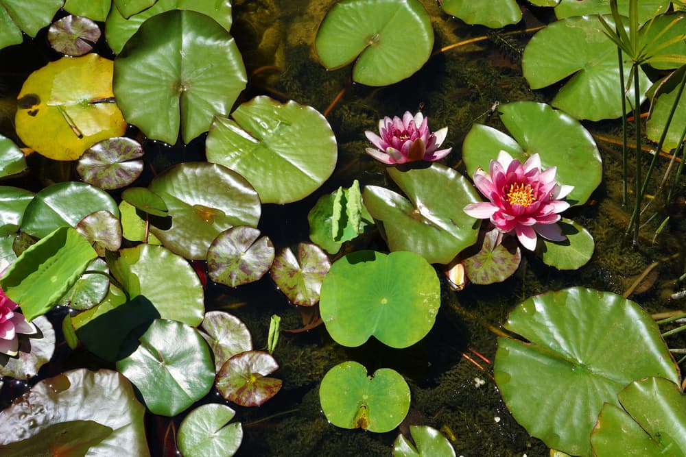 Nymphaea floating on the surface of a pond