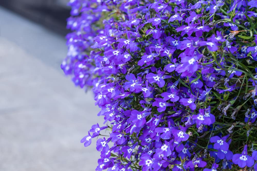 sapphire coloured flowers of garden Lobelia