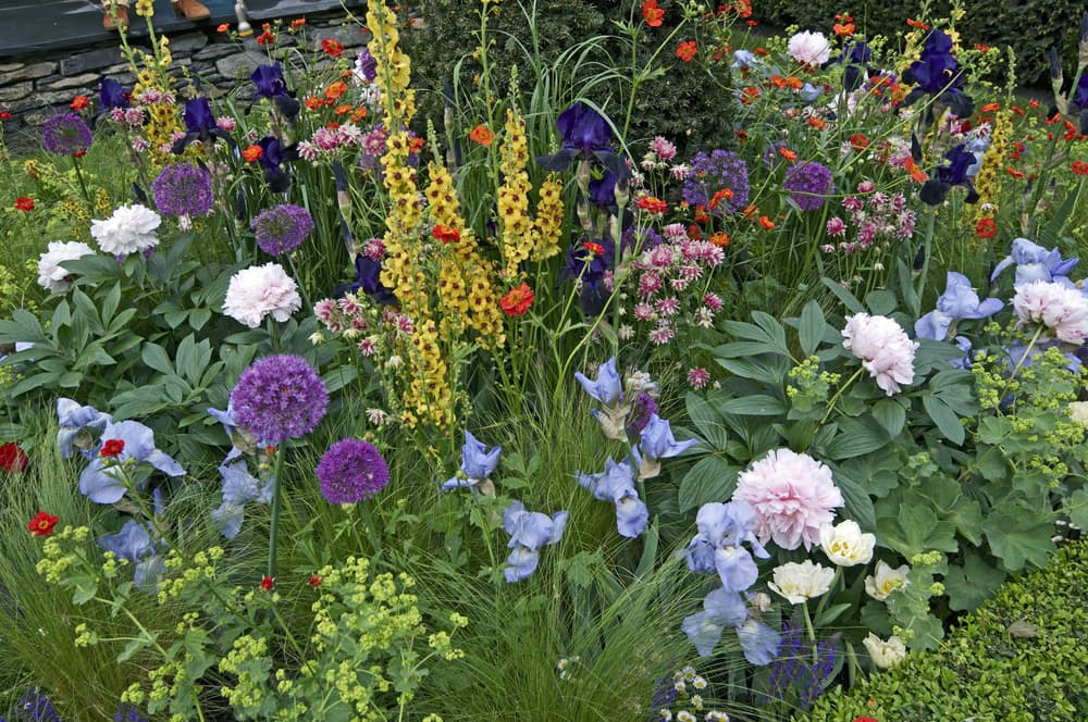 mixed flower border with Verbascum, Iris and Peonies in a cottage garden