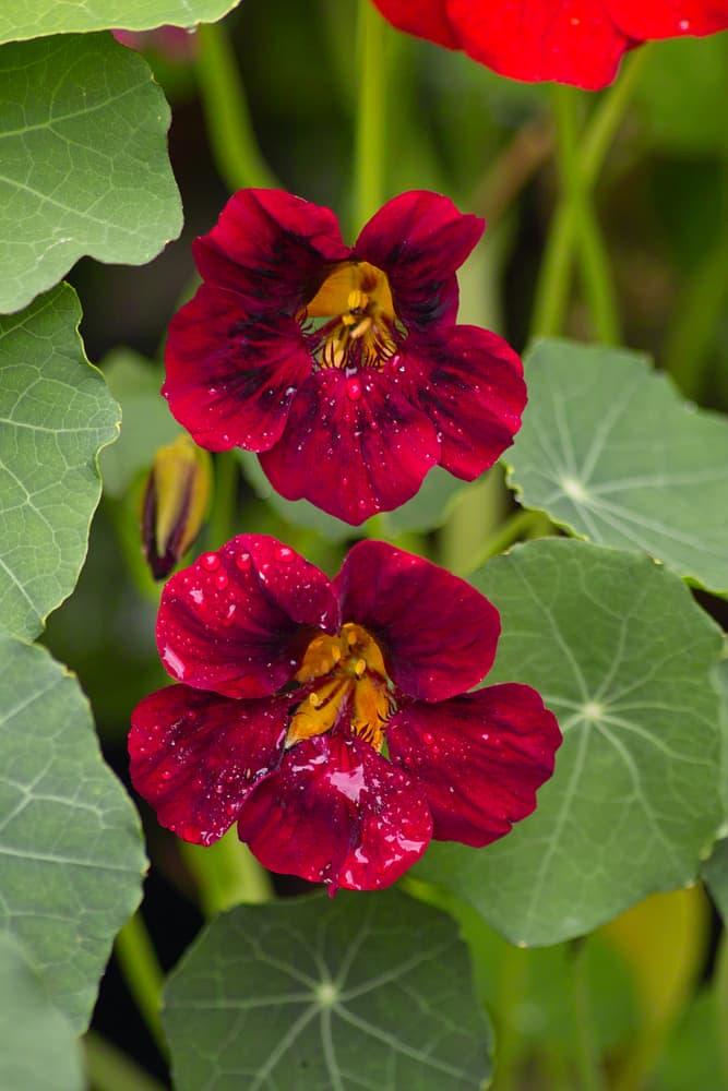 two T. majus 'Black Velvet' flowers in focus