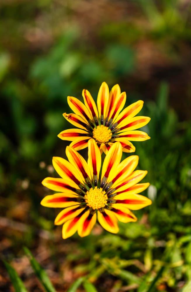 two Gazania 'Big Kiss Yellow Flame' flowers in focus