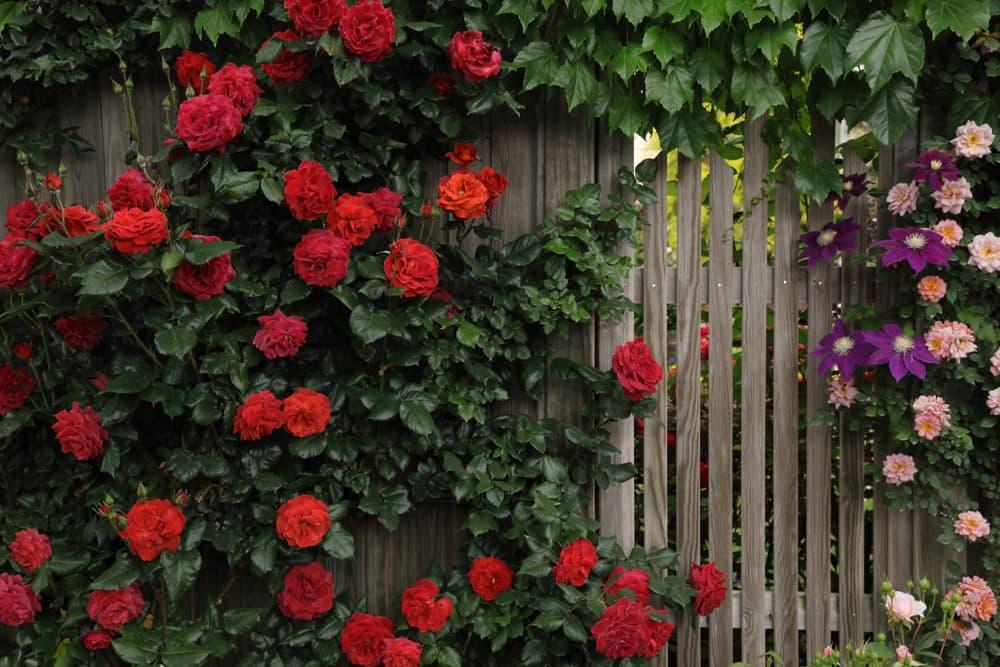 rambling roses in various shades of red