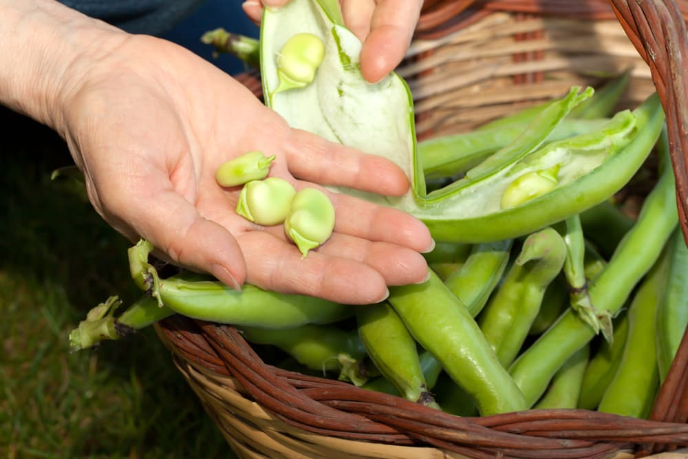 fresh broad beans in a wicker basket and being held by a hand