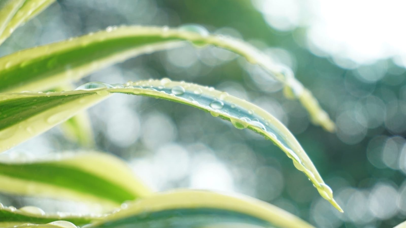 Dracaena sanderiana with wet leaves