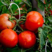 alicante tomato fruits on the vine