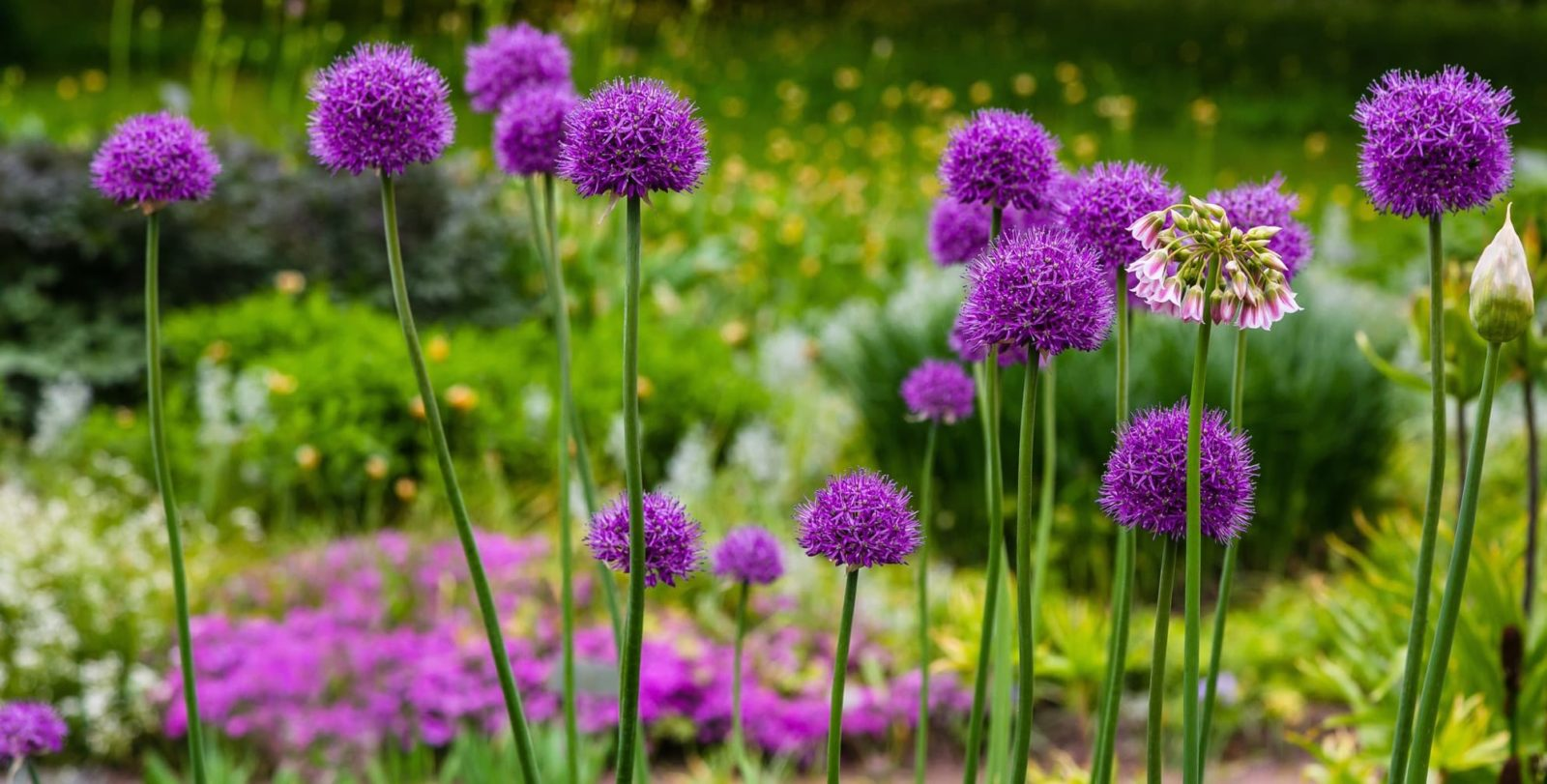 purple allium flowers with greenery in background