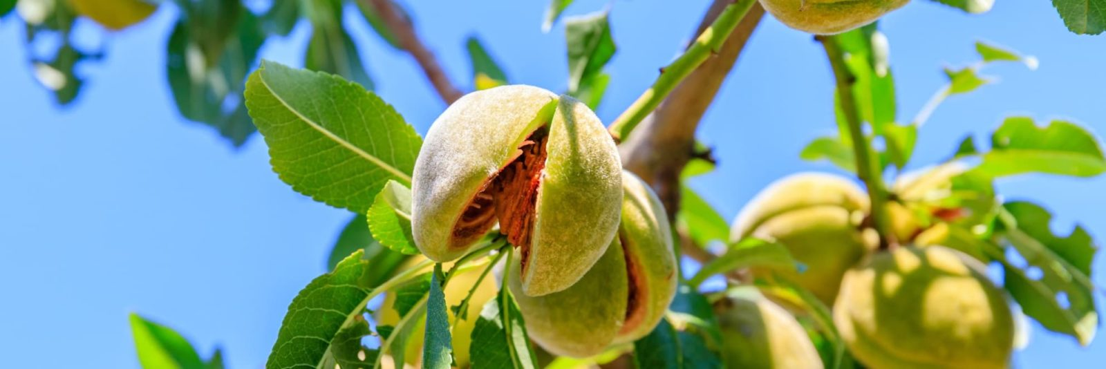 ripe almonds growing on a tree