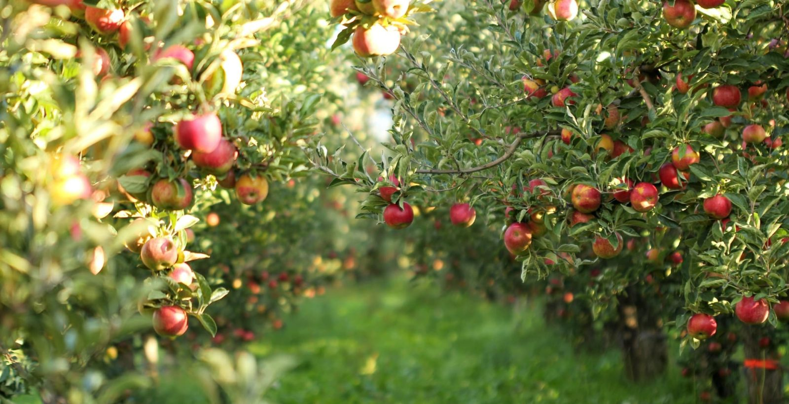 an apple tree with fruits in an orchard